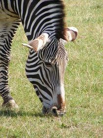 Zebra by mark-philpott