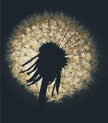 Dandelion shimmering. von rosanna zavanaiu