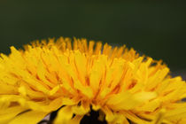 Löwenzahn - Dandelion von ropo13