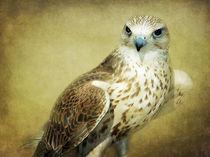 The Saker Falcon Stare by Amanda Finan