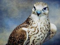 A Saker Falcon von Amanda Finan