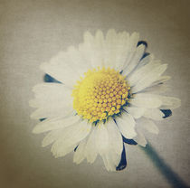 One SingleDaisy. by rosanna zavanaiu