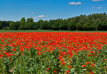 Poppy Field von tkphotography