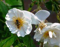 Insekt auf Rose Schneewittchen by Ariane Kujas