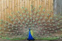 peacock display by mark-philpott