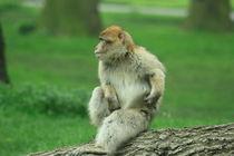 itchy monkey by mark-philpott