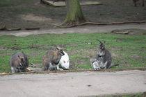 i wanna be a wallaby by mark-philpott