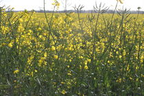 rapeseed by mark-philpott