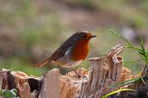 Rotkehlchen - Robin von ropo13