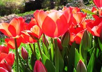 Rotes Tulpenmeer by ismira