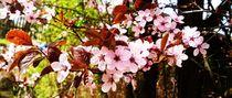 Rosa Pflaumenblüten by ismira