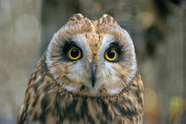 Whooo's Looking? Short-eared Owl by JET Adamson
