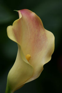 Magnificent Beauty ~ Calla Lily von JET Adamson