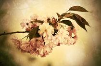 sakura by augenwerk