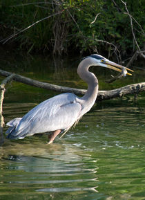 'A Blue Heron Catches Lunch' von Glen Fortner