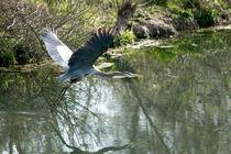 Blue Heron in Flight by Glen Fortner