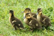 Ducklings Waddling By (Mallard) by JET Adamson