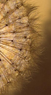 Golden  Dandelion Seedhead.. von rosanna zavanaiu
