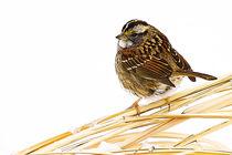 sparrow377 von Roger Brandt