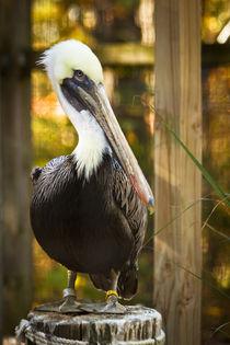 pelican431 by Roger Brandt