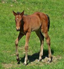 Baby foal von John McCoubrey