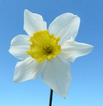 White Narcissus by John McCoubrey