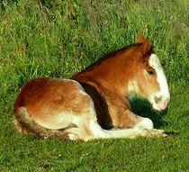 Shire Horse Foal by John McCoubrey
