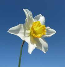 White and Yellow Narcissus von John McCoubrey