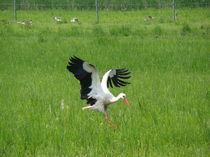 Storch im Landeanflug von Ka Wegner