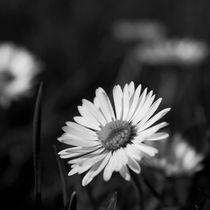 Daisy by Stephanie Wüstinger