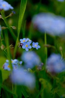 Myosotis sylvatica by Flower Power