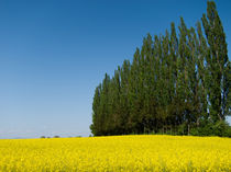 Bäume + Rapsfeld von Günther Lippl
