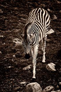 Burchell's Zebra (Equus burchelli) von studio-toffa