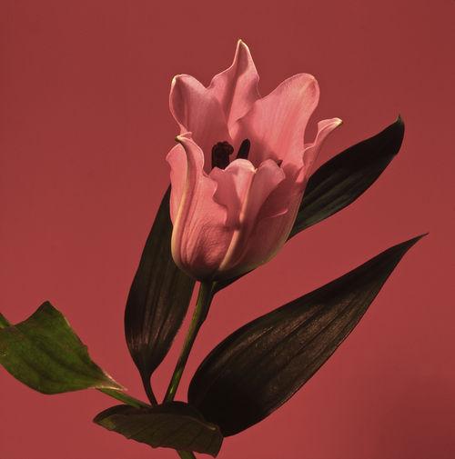 Lilium-lilie-s2-1