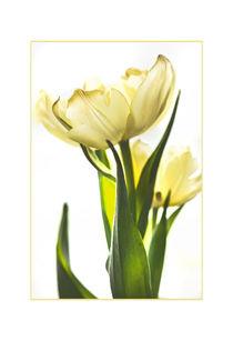 Yellow Tulip profile by Robert  Perks