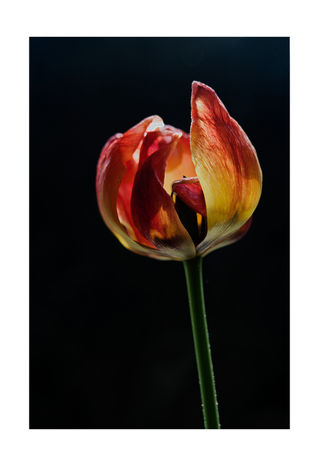 Red-and-yellow-tulip