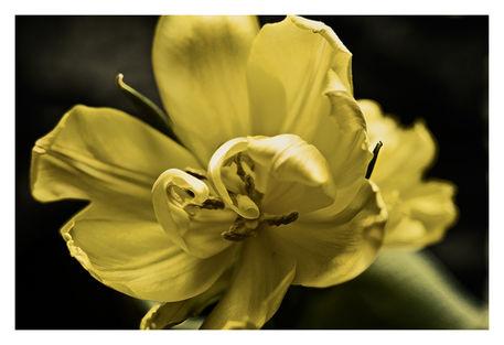 Shatterd-tulip