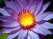 Water-lily1