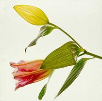 lilienbluete mit knospe by helmut krauß