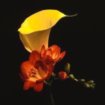 gelbe bluete der zantedeschia elliottiana und freesia by helmut krauß