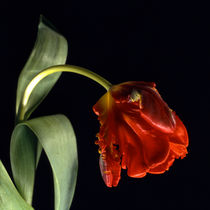 tulipa by helmut krauß