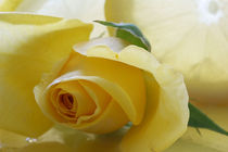 A burst of sunshine!  Yellow Rose by JET Adamson