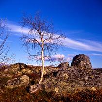 zwergbirke auf der valdresflya; oppland fylke, norwegen von helmut krauß