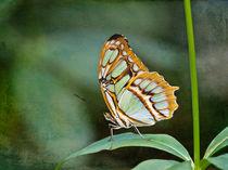 Schmetterling - Tropical Butterfly by Helga Sevecke