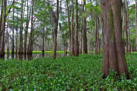 Atchafalaya-swamp0018