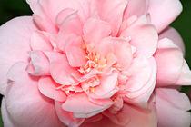 Pink Camellia von Louise Heusinkveld