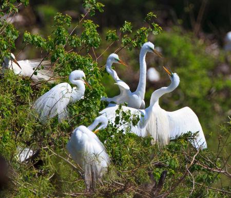 Great-egrets0047