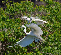 Great Egret in Flight von Louise Heusinkveld