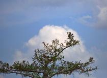 Osprey by Louise Heusinkveld