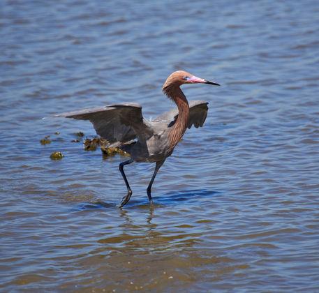 Reddish-egret0085